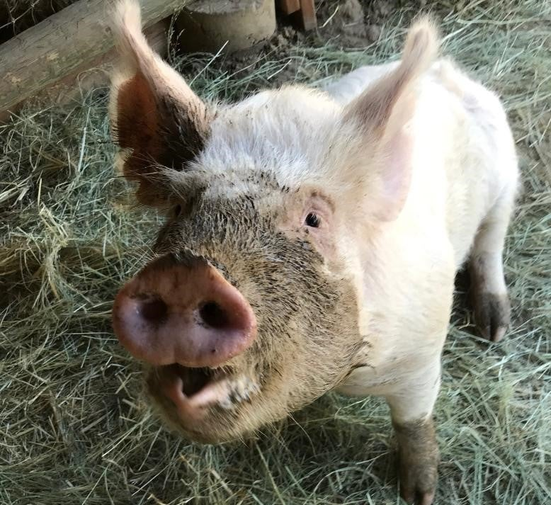 picture of olivia the pig