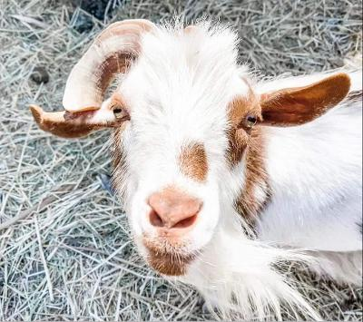 picture of teddy the goat