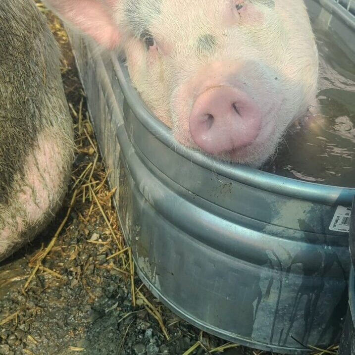 picture of tom the pig
