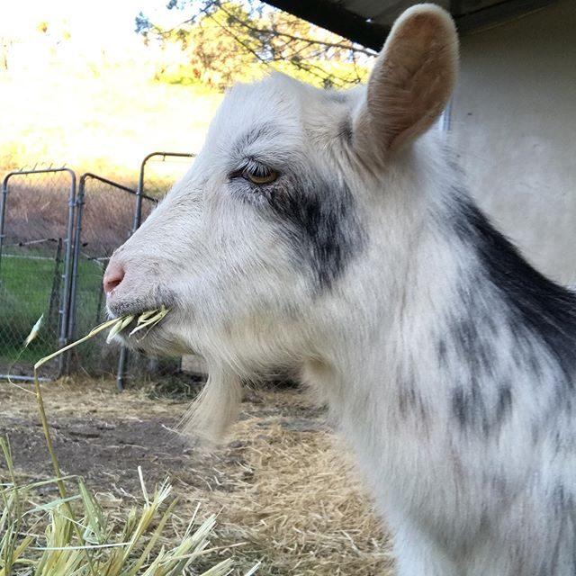 snowflake the goat